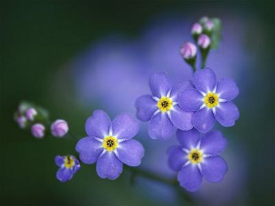 Forget-Me-Not-